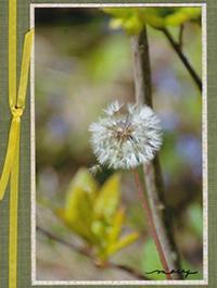 dandelion-sm.jpg