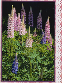 lupine-lace.card.jpg