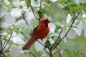 Dogwood Cardinal 2014 1209